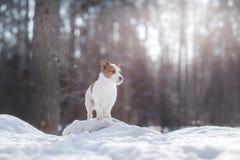 Terrier ativo e bonito de Russel do jaque da raça do cão fora Imagem de Stock Royalty Free