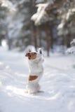 Terrier ativo e bonito de Russel do jaque da raça do cão fora Fotos de Stock Royalty Free