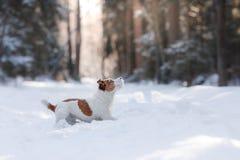 Terrier ativo e bonito de Russel do jaque da raça do cão fora Imagens de Stock Royalty Free