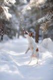 Terrier ativo e bonito de Russel do jaque da raça do cão fora Foto de Stock