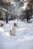 Terrier ativo e bonito de Russel do jaque da raça do cão fora Fotografia de Stock Royalty Free