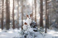 Terrier ativo e bonito de Russel do jaque da raça do cão fora Imagem de Stock
