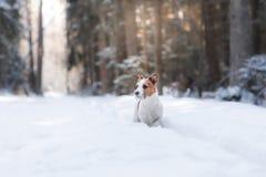 Terrier ativo e bonito de Russel do jaque da raça do cão fora Imagens de Stock