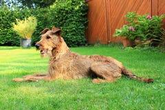Terrier attento Fotografia Stock Libera da Diritti