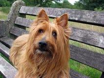 Terrier australiano Fotografie Stock
