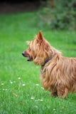 Terrier australiano Imagens de Stock