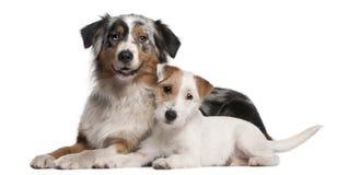Terrier australiano de Russell do cão e do Parson de pastor Imagem de Stock Royalty Free