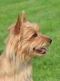 Terrier australiano típico no jardim Fotos de Stock Royalty Free