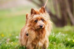Terrier australien image stock