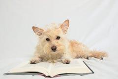 Terrier avec des pattes sur le livre ouvert regardant vers le bas le livre Photo libre de droits