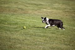 Terrier Ball Approach Stock Images