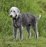Terrier Bedlington стоя на зеленой траве Стоковое Изображение RF
