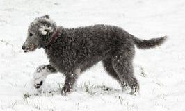 Terrier Bedlington в sonw Стоковое Изображение