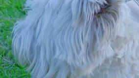 Terrier bianco di altopiano ad ovest video d archivio