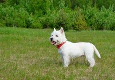 Terrier bianco di altopiano ad ovest Immagine Stock