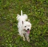 Terrier bianco di altopiano ad ovest, sulla vista Immagine Stock