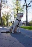 terrier bianco di stafford fotografie stock libere da diritti