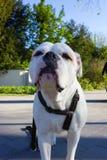 terrier bianco di stafford fotografia stock libera da diritti