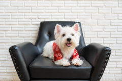 Terrier blanc, chien de montagne de westie Photos stock