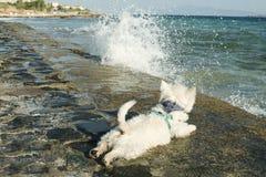 Terrier blanc de montagne occidentale sur le rivage de la mer d'été Photo stock