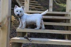Terrier blanco Fotografía de archivo libre de regalías