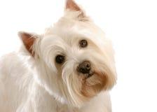 Terrier blanco de montaña del oeste Imágenes de archivo libres de regalías