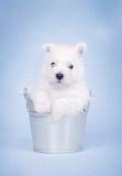 Terrier blanco de montaña del oeste   Fotos de archivo