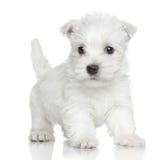 Terrier blanco de montaña del oeste Imagen de archivo libre de regalías