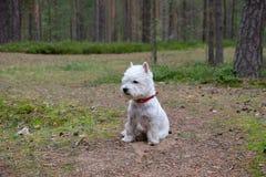 Terrier blanco de montaña del oeste imagen de archivo