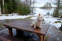 Terrier blanco de montaña del oeste Foto de archivo