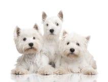 Terrier blanco de montaña del oeste en una fila imágenes de archivo libres de regalías