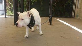 Terrier blanco del amstaff Imagen de archivo libre de regalías