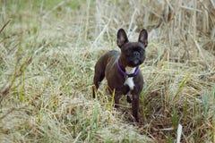 Terrier blanco y negro en hierba imagenes de archivo