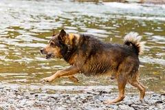 Terrier blandad avelhund som spelar i vattnet Royaltyfria Foton