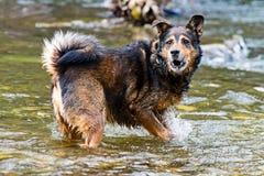 Terrier blandad avelhund som spelar i vattnet Royaltyfria Bilder