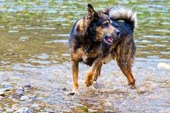Terrier blandad avelhund som spelar i vattnet Royaltyfri Bild