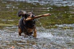 Terrier blandad avelhund som spelar i vattnet Royaltyfri Foto