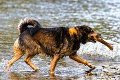 Terrier blandad avelhund som spelar i vattnet Arkivbilder