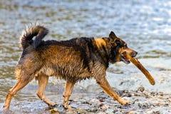 Terrier blandad avelhund som spelar i vattnet Arkivbild