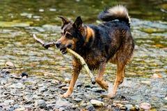 Terrier blandad avelhund som spelar i vattnet Arkivfoton