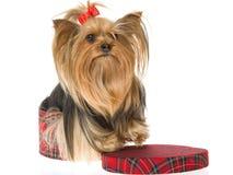 Terrier bonito de Yorkshite na caixa do tartan imagens de stock royalty free