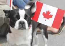 terrier boston канадский патриотический Стоковое Изображение