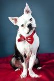 terrier boston красивый Стоковые Изображения RF