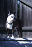 terrier boston стоковые фотографии rf