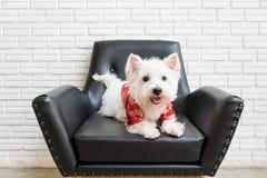 Terrier branco, cão das montanhas do westie Imagens de Stock