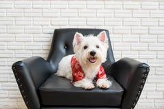 Terrier branco, cão das montanhas do westie Fotos de Stock