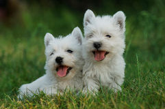 Terrier branco de montanhas ocidentais Imagens de Stock Royalty Free