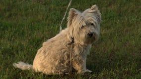 Terrier branco de montanhas ocidentais na grama verde no jardim fora Cão puro peludo do terrier da raça no gramado no pátio trase filme