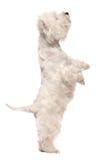 Terrier branco de montanhas ocidentais nos pés traseiros foto de stock royalty free