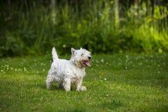 Terrier branco de montanhas ocidentais que está em um gramado verde Foto de Stock Royalty Free